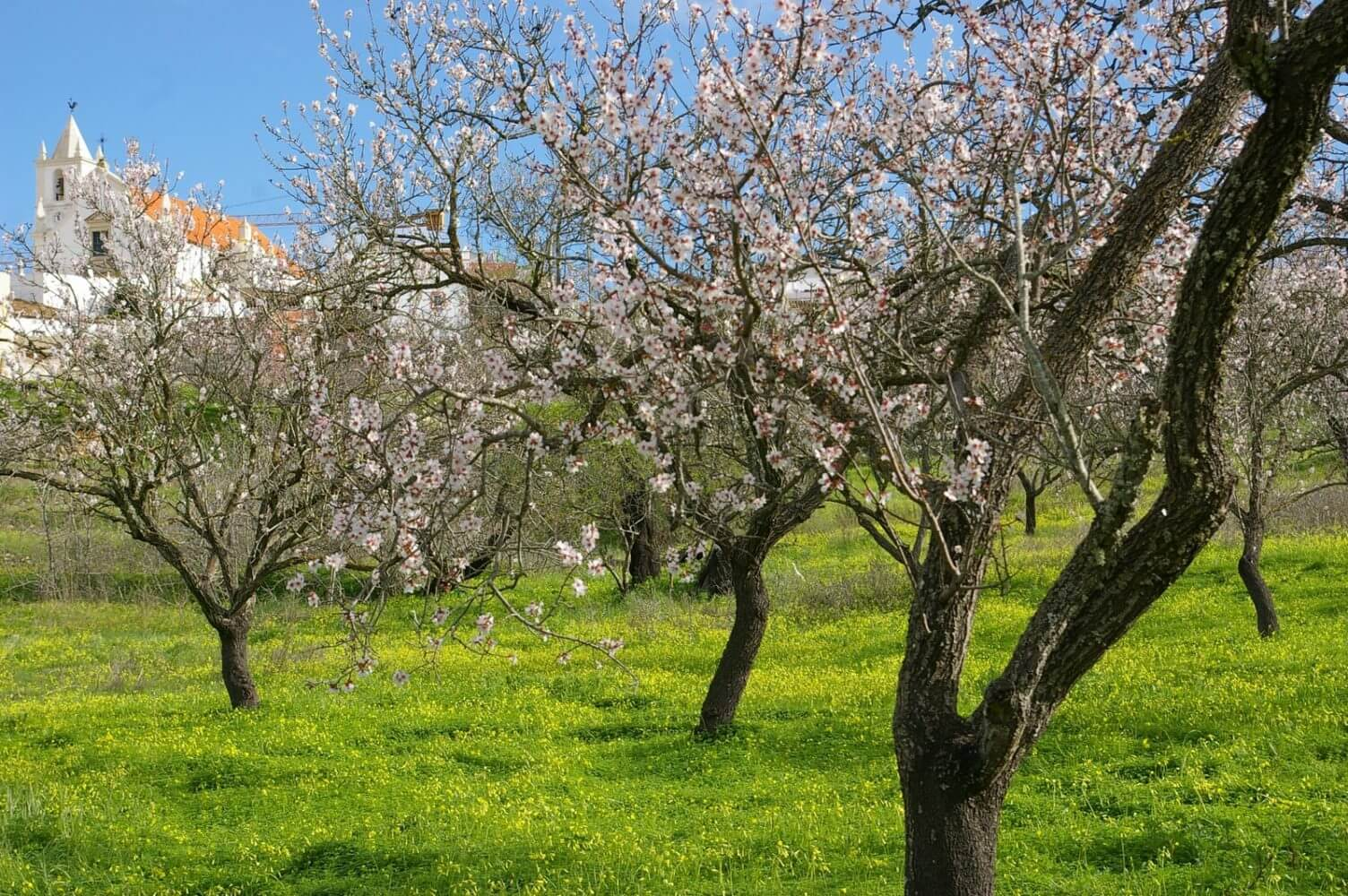 almonds in field